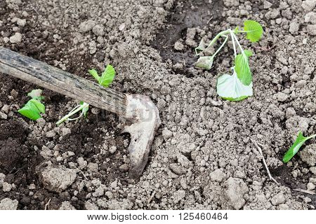 Loosening Beds With Cabbage Shoots By Hoe