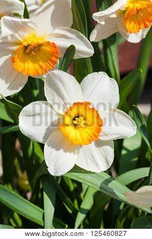 Bunch Of Narcissus Tazetta Cultivar Flowers