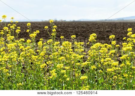 Yellow Blooms Of Rapeseed And Ploughed Field