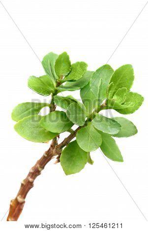 Kalanchoe branch macro isolated on white background