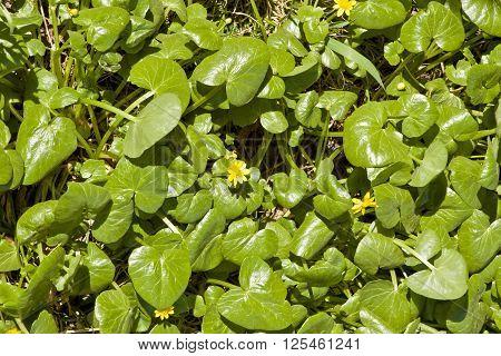 Blooming lesser celandine (Ficaria verna Ranunculus ficaria)