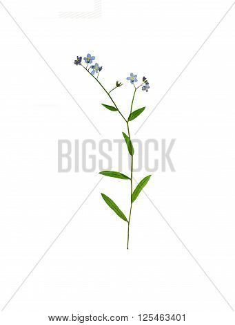 Pressed and dried delicate blue flowers forget-me-not . Isolated on white background.
