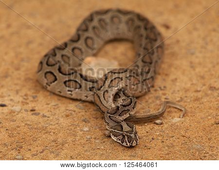 Viper, south asia (Srilanka) - Close up