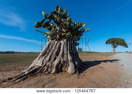Large Tree Trunk With Cactus Growing Out