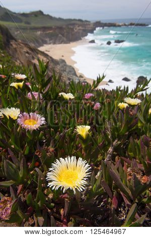 Cluster of blooming flowers by a hiking path on the Pacific Coast