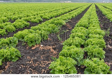 Rows Of Lettuce In A Field In Califonia