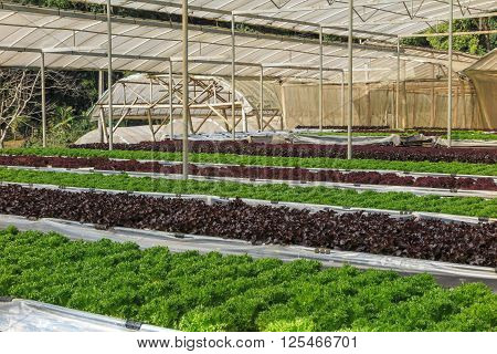Hydroponic and organic lettuce salad vegetable growing in greenhouse