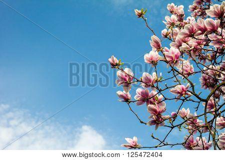 Blossom Magnolia Branch Against Blue Sky.