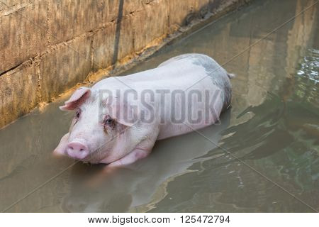 Single Big Pig Playing In Water