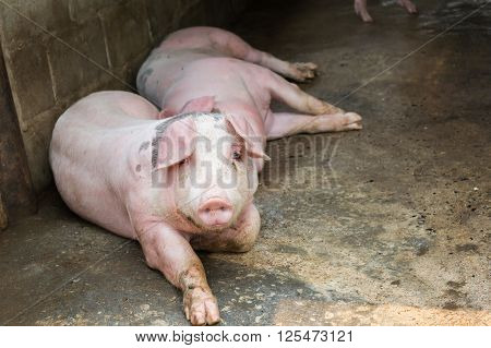Pig Farm, Big Pigs Lay Down In Hoven