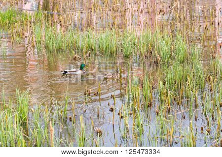 Mallard ducks pair swimming on small pond with plants. Nature Background
