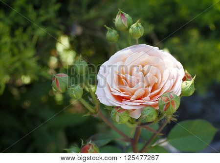 beautiful creamy natural rose in the garden
