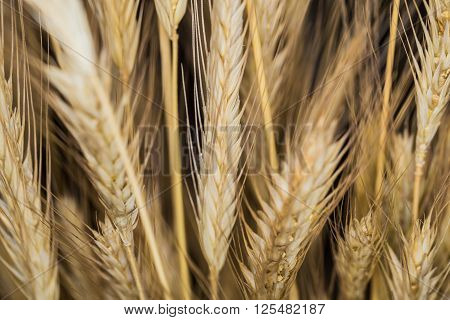 Still Life with a golden spica cereal crops