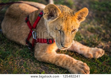 Lion cub on a leash on the grass background