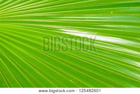 Texture background of green plam leaf in background