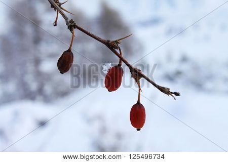 barberry twig wild winter in the mountains