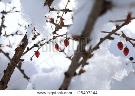 Siberian barberry berries dry on branches in winter