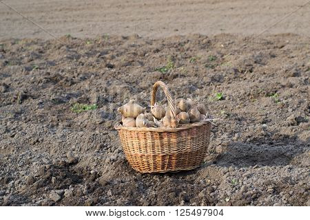 basket sprouted potatoes for planting is in a plowed field close up ** Note: Soft Focus at 100%, best at smaller sizes