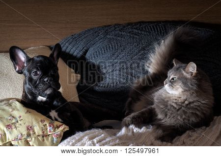 Dog and cat on the bed. Dog black french bulldog puppy. Cat large, gray and angry. Lots of pillows