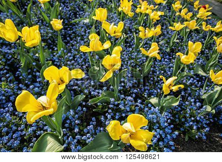 Yellow tulips and forget-me-not flowers planted in the park. Beauty in nature.