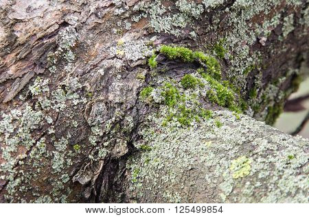 Bark of tree covered with moss and lichen closeup
