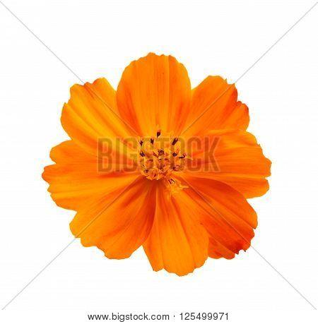 One orange Cosmos flower isolated on white background