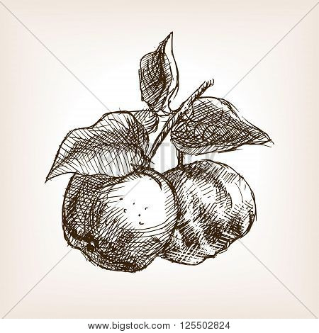 Quince sketch style vector illustration. Old engraving imitation.