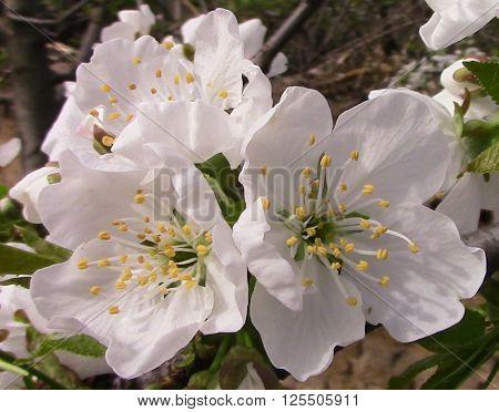 Cherry blossom in spring, Spring flowering apple, fruit, apple blossom, blossom tree Fruit Growing