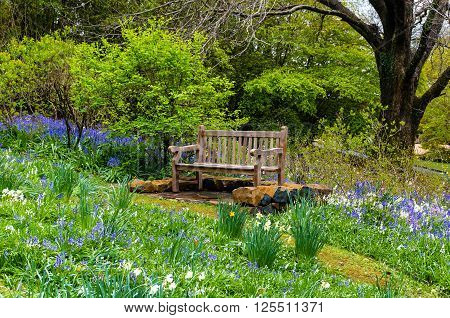 Bench in the garden. Wooden bench in a secluded spot of the garden surrounded with lush green foliage and spring flowers bluebells and daffodils