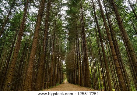 Alley footpath in the pine forest. Tall pine trees forest landscape. Pine trees alley nature photography