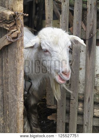 Cute white goat peeping from behind the wooden fence