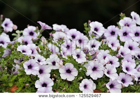 Beautiful Purple And White Petunia Flowers