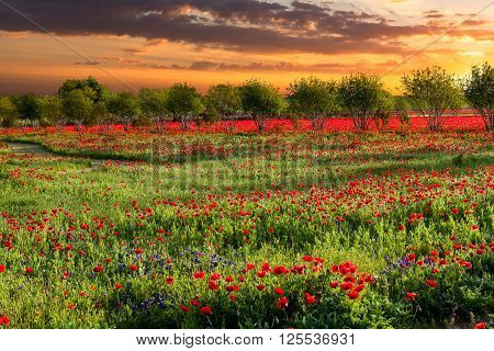 Brilliant red corn poppies growing in rural Texas captured at sunrise ** Note: Visible grain at 100%, best at smaller sizes