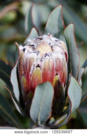 Close up of Protea in the wild at Piekenierskloof