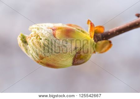 A Horse-chestnut Sprout