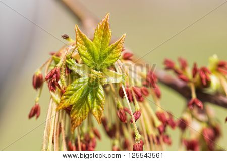 Acer Negundo Leaves And Flowers