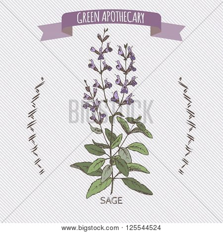 Color salvia officinalis aka common sage sketch. Green apothecary series. Great for traditional medicine, cooking or gardening.