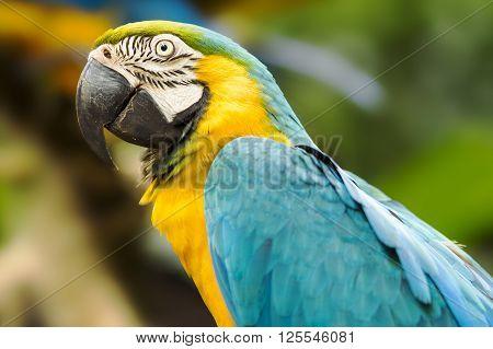 Blue-and-gold macaw in natural setting near Iguazu Falls Foz do Iguacu Brazil.
