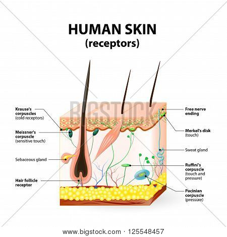cross section human skin. The skin a sensory organ with a dense network of nerves. Pressure vibration temperature pain and itching are transmitted via special receptory organs and nerves.