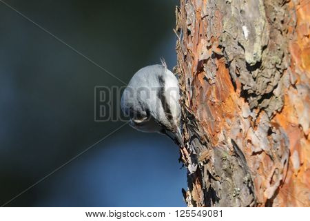 Eurasian Nuthatch (Sitta europaea) pecks pine-tree in spring. National park Plesheevo Lake Yaroslavl region Russia