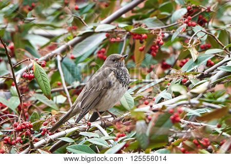 Black-throated thrush resting on a branch in its habitat