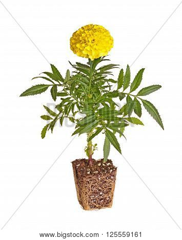 Single seedling of a marigold (Tagetes species) with yellow flowers showing the rootball ready to be transplanted into a home garden isolated against a white background