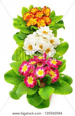 Colorful fresh primula isolated on white