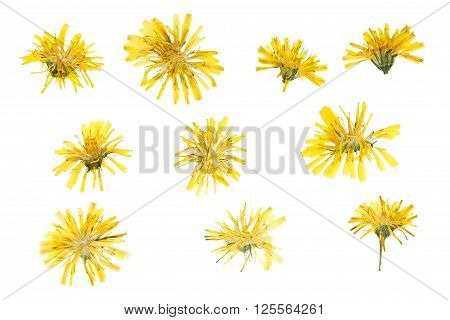Pressed and dried flowers crepis tectorum isolated on white background.