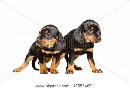Two puppy breed Slovakian Hound standing together isolated on white background