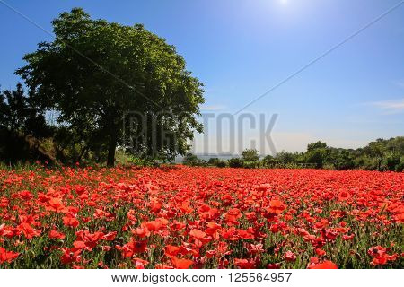 Spring landscape; walnut tree in field of poppies. BASILICATA (ITALY).Rural scene of Palazzo San Gervaso (Potenza).Lonely tree in a field of poppies.