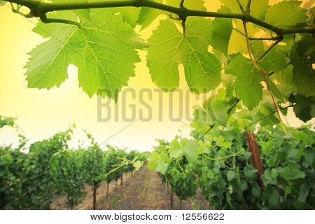 Grapevine Plants