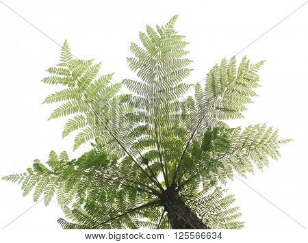 Cyathea isolated in white