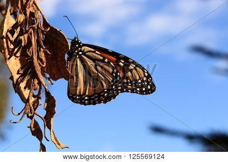 A Monarch butterfly rests on a dry leaf