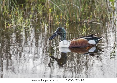 The Northern Shoveler lives in wetlands across much of North America. Its long spoon-shaped bill has comblike structures along its edges to filter food from the water as it forages.